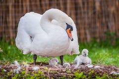 beau cygne de mère et petits cygnes Images libres de droits