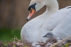 beau cygne de mère et petits cygnes Image libre de droits