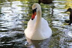 Beau cygne en parc Boston LES Etats-Unis Photos stock