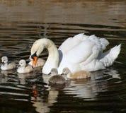 Beau cygne muet avec ses 5 jeunes bébés nageant ensemble sur les eaux calmes image libre de droits