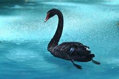 Beau cygne noir Photo libre de droits
