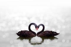 Beau cygne noir dans la forme de coeur sur le bokeh blanc de lac Images stock