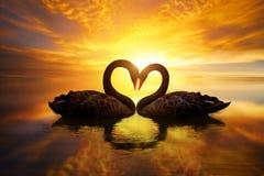Beau cygne noir dans la forme de coeur sur le coucher du soleil de lac Image stock