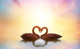Beau cygne noir dans la forme de coeur sur le coucher du soleil de lac Photo libre de droits