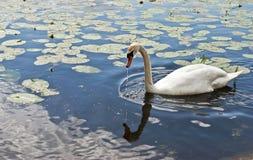 Beau cygne sur le lac photo libre de droits