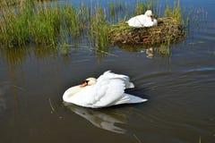Beau cygne sur son nid dans le lac Images stock
