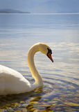 Beau cygne sur un lac Image stock