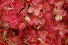 Beau détail d'hortensia rouge de greenmarket en plan rapproché images stock