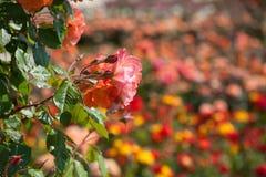 Beau détail de roseraie avec le fond de tache floue Photographie stock