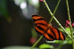 Beau d'étendre chêne Tiger Butterfly Around Pink Flowers Image libre de droits