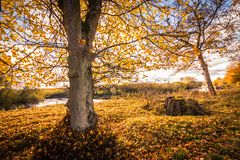 Beau, d'or paysage d'automne avec des arbres et feuilles d'or au soleil en Ecosse image libre de droits