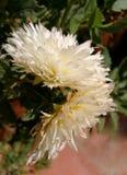 Beau dahlia naturel Photo libre de droits