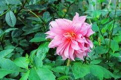 beau dahlia rose dans des feuilles vertes naturelles Images libres de droits