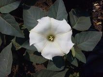 Beau, datura, décoratif, exotique, flore, fleur, vert, herbe, feuille, feuilles, naturelles, nature, pétale, usine, blanche Photo stock