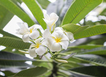 Beau de frangipani de photos bouquet blanc de Plumeria dehors Image stock