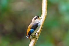 Beau de l'oiseau de Broadbill d'argent-breasted (lunatus de Serilophus) Photo stock