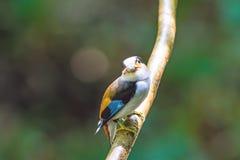 Beau de l'oiseau de Broadbill d'argent-breasted (lunatus de Serilophus) Images stock