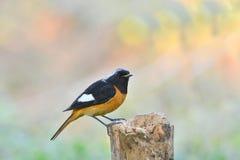 Beau de l'oiseau de Daurian Redstart Photographie stock libre de droits