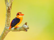 Beau de l'oiseau de martin-pêcheur Images stock