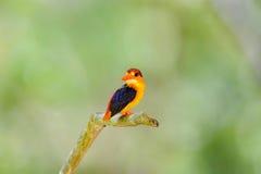 Beau de l'oiseau de martin-pêcheur Image stock