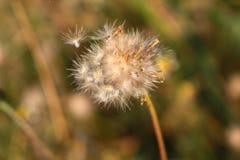 Beau de la fleur d'herbe sèche Photos stock