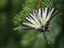 Beau ` de podalirius d'Iphiclides de ` de papillon sur le vert images libres de droits