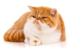 Beau, de race chat Chaton - portrait de chat exotique photo libre de droits