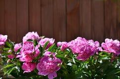 Beau des fleurs roses de pivoine dans le jardin Images stock