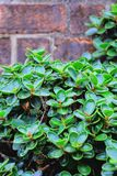 Beau des plantes ornementales vertes Photo stock