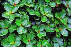 Beau des plantes ornementales vertes Image stock