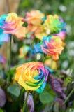 Beau des roses d'arc-en-ciel Photographie stock