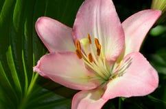 Beau doucement lis rose dans le jardin Images stock