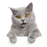 Beau drapeau gris de chat Photos stock