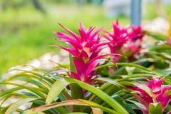 Beau du bromélia dans le jardin de bromélia photos stock