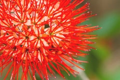 Beau du saule de buisson rouge ou de la fleur thaïlandaise de souffle de poudre Photo stock