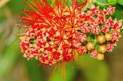 Beau du saule de buisson rouge ou de la fleur thaïlandaise de souffle de poudre Photo libre de droits