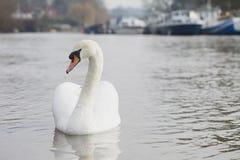 Beau et élégant cygne nageant vers le haut d'une rivière Image libre de droits