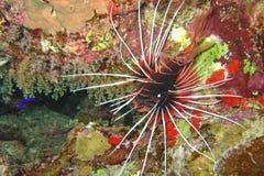 Beau et divers récif coralien avec des poissons de la Mer Rouge en Egypte photographie stock