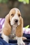 Beau et doux chiot de chien de basset avec les yeux tristes et très le l images stock