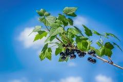 Beau et frais cassis sur la branche en été sur un ciel bleu de fond et des nuages blancs Photo stock