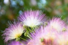 Beau et pelucheux arbre de floraison Photos libres de droits