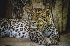 Beau et puissant léopard de Panthera, se reposant au soleil images libres de droits