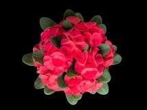 Beau fermé de la couronne rouge de la fleur d'épines ou d'épine du Christ photos libres de droits