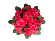 Beau fermé de la couronne rouge de la fleur d'épines ou d'épine du Christ photo stock