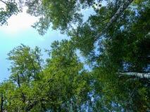 Beau feuillage de verger de bouleau de ressort, feuilles fraîches en Li de matin images stock