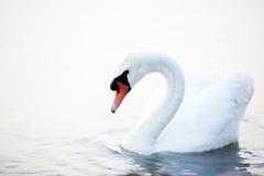 Beau flottement blanc de cygnes Photos stock
