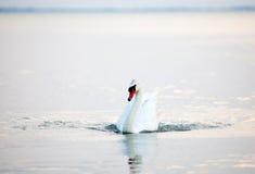 Beau flottement blanc de cygnes Image stock