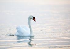 Beau flottement blanc de cygnes Photographie stock