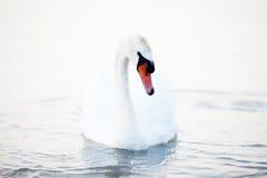 Beau flottement blanc de cygnes Image libre de droits