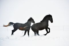 Beau fonctionnement de cheval image stock